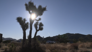 Scientists say climate change could kill off California's iconic Joshua trees by end of century