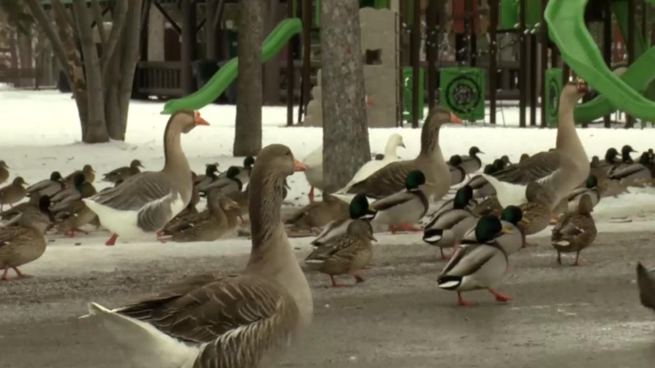 Woodland Park Ducks