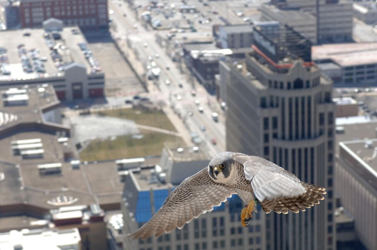 bird raptor peregrine falcon flight tower daniel 17 copy.jpg