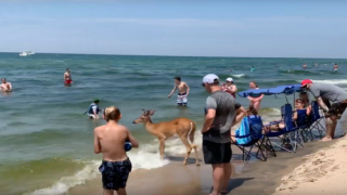 An Unusually Calm Deer Was Hanging Out With Beachgoers On Lake Michigan