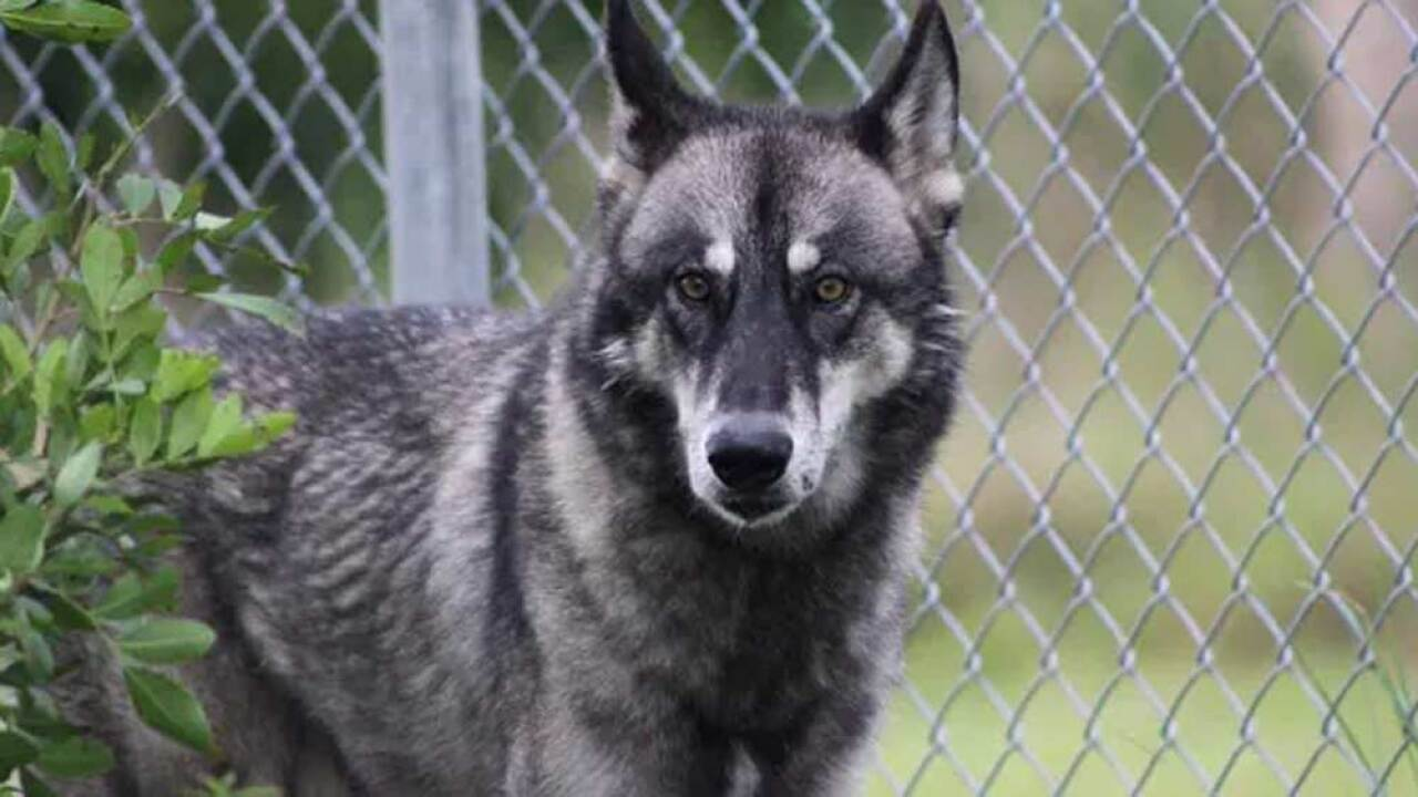 Jax is a wolf hybrid cared for by Critter Haven in Indian River County. (Photo: CONTRIBUTED PHOTO BY JOEY BORNEMAN via TC Palm)