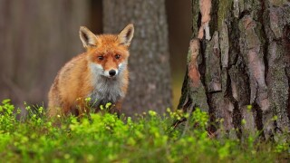 Cute Red Fox, Vulpes vulpes, at green forest