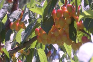 Flathead Lake cherry harvest in full swing