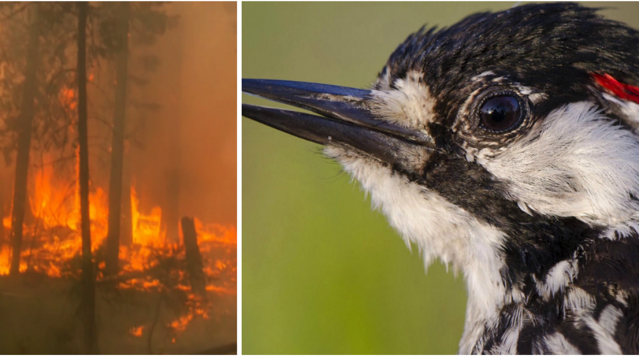 Rise of the woodpecker: How fire is helping save an endangered bird in a unique Virginia forest