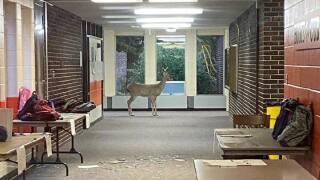 Deer breaks into Ken-O-Sha Park Elementary School