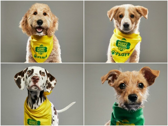 7ff2d230edb4 2018 Animal Planet Puppy Bowl XIV  Meet this year s starting lineup
