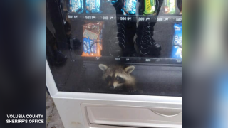 Busted! Raccoon spotted 'breaking into' vending machine at a Florida high school