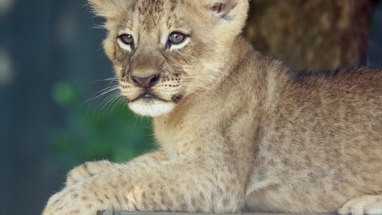 lion cub_KB (5).JPG