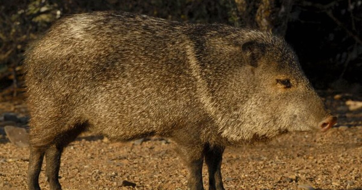 Javelina bites Tucson woman who was feeding it, AZGFD says
