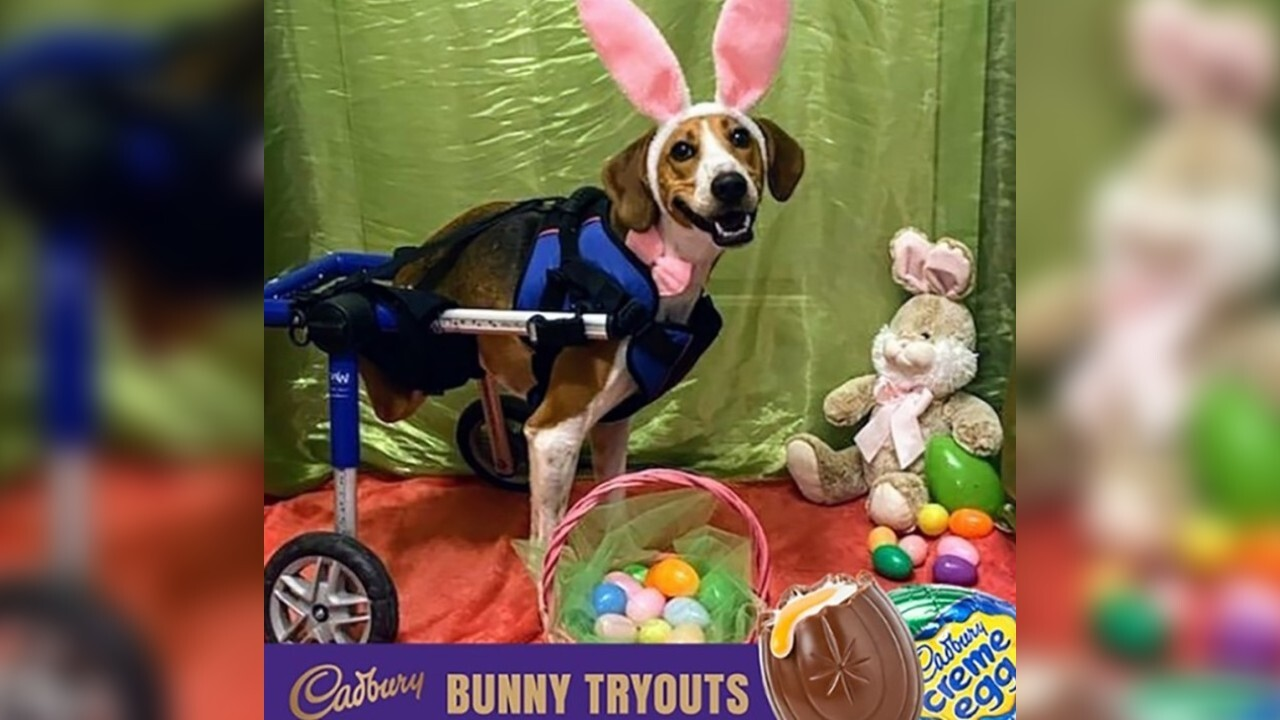 2-legged dog named Lieutenant Dan is your 2020 Cadbury Bunny