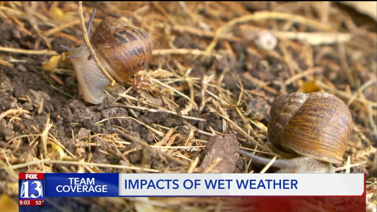 Soggy spring causing problems for some Utah yards,gardens