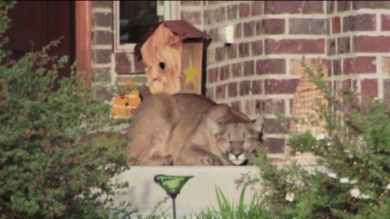 Mountain lion lounging on porch startles Heber Cityneighborhood