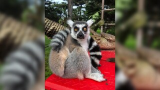 Police ask for help finding Lemur apparently stolen from San Francisco Zoo