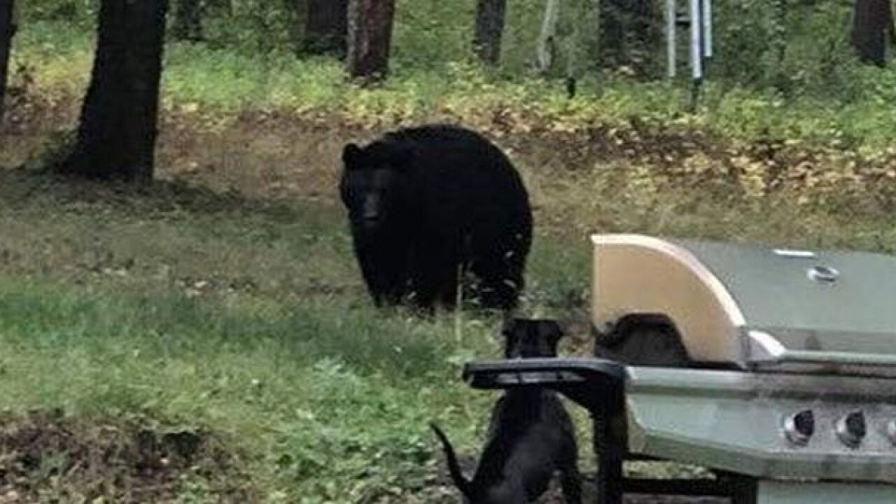 Viewer photo of bear near Monarch in mid-September in a separate incident