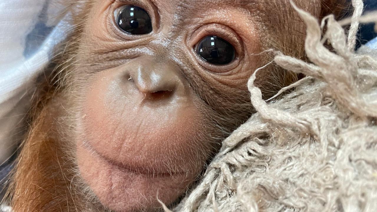 Baby Oragutan Metro Richmond Zoo 2.png