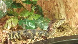 alligator.png
