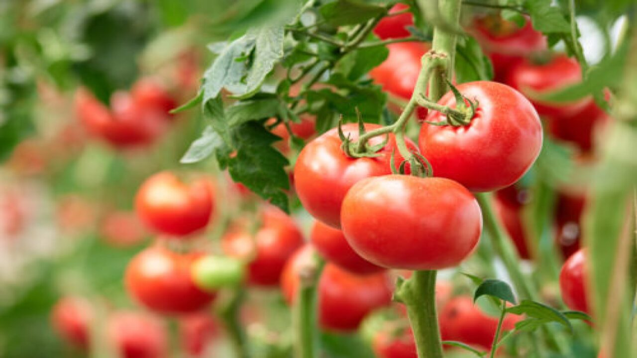 Companion Plants For Tomatoes: The Best And Worst Plants To Put Next To Your Tomatoes