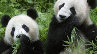 """Pandas"" IMAX film debuts at Fleet Science Center in Balboa Park"