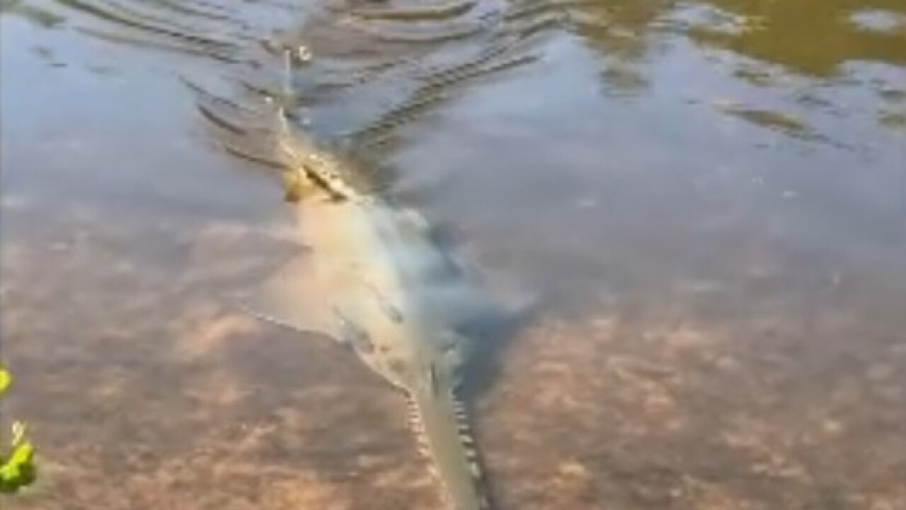 Watch: Endangered sawfish spotted on Sanibel Island