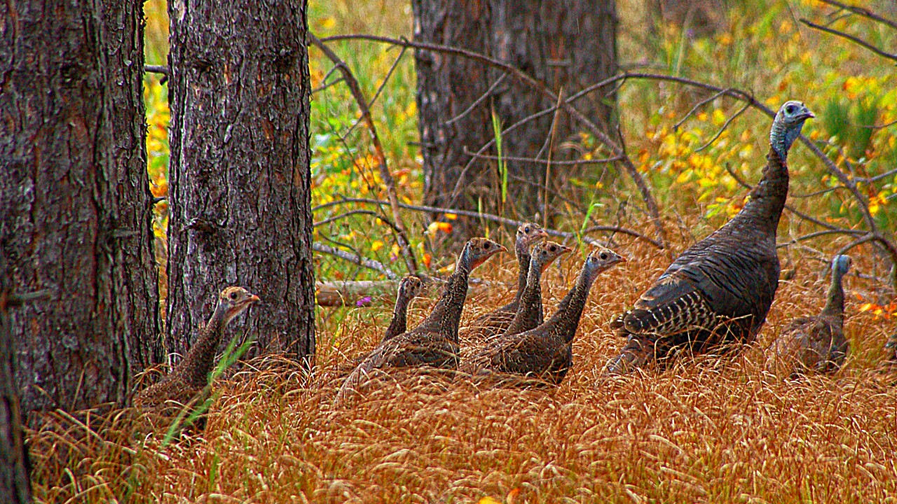 039  Wild Turkey teens .jpg