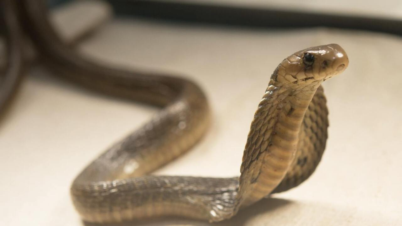 Zoo's reptile experts capture stowaway cobra on container ship