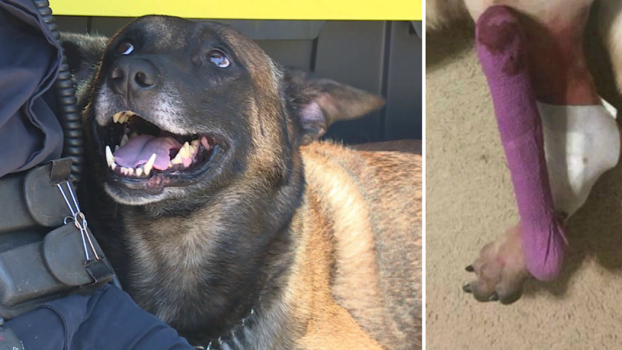 Following amputation, Prince George police dog returns to work with fullforce