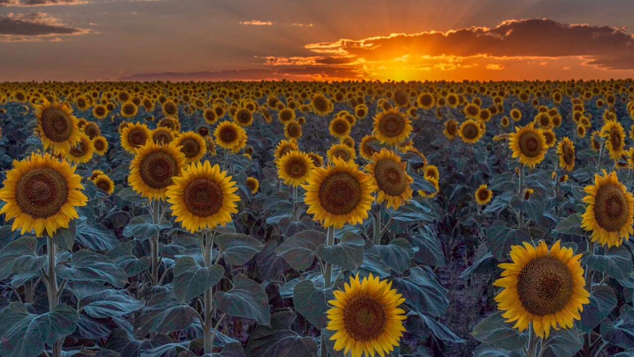 DIA Sunflower Field