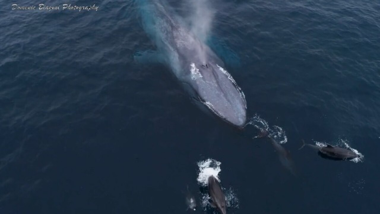 Photographer captures blue whales, dolphins frolicking near San Diego