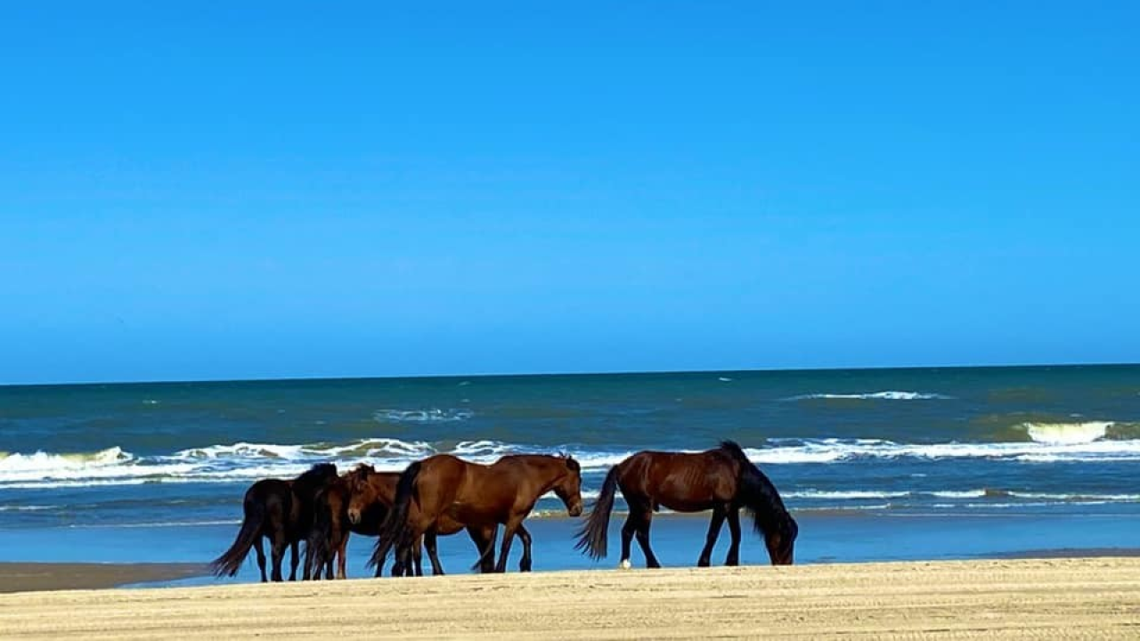 Horses in the Outer Banks.png
