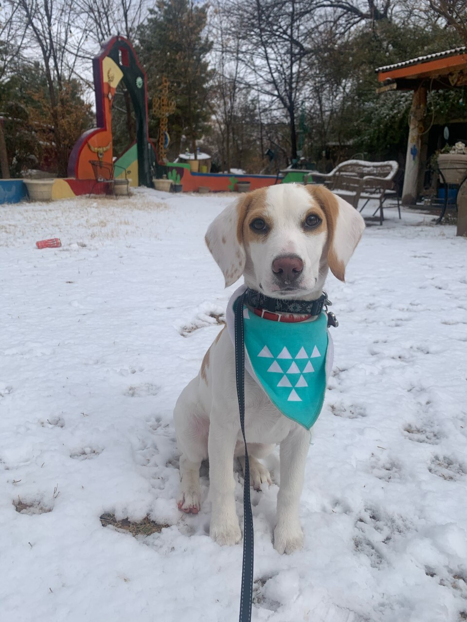 Leia the Beagle enjoying snow in Nogales