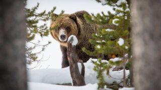 bear mauling.jpg