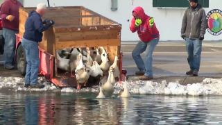 """Annual """"release the geese"""" at Gibson Pond (2018)"""