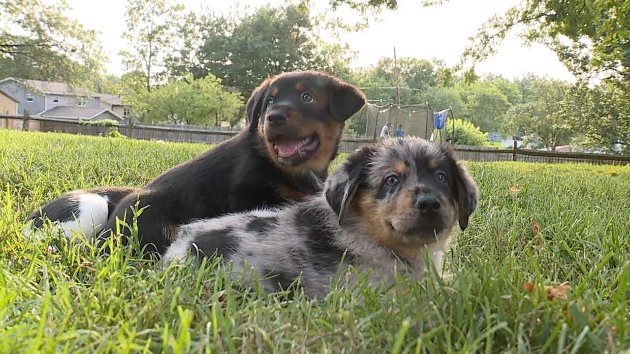 Louie's Legacy puppy adoption