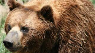 Grizzly bear relocated near Yellowstone Park