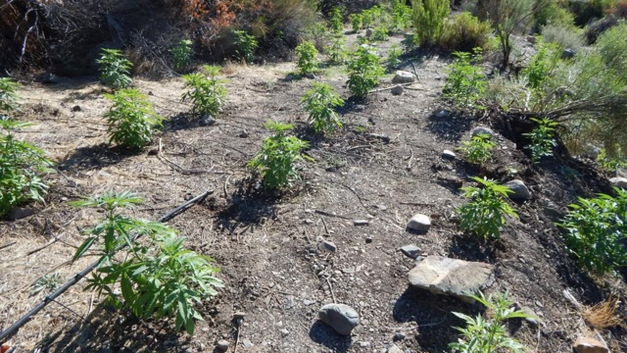 Illegal marijuana plants found in Death Valley