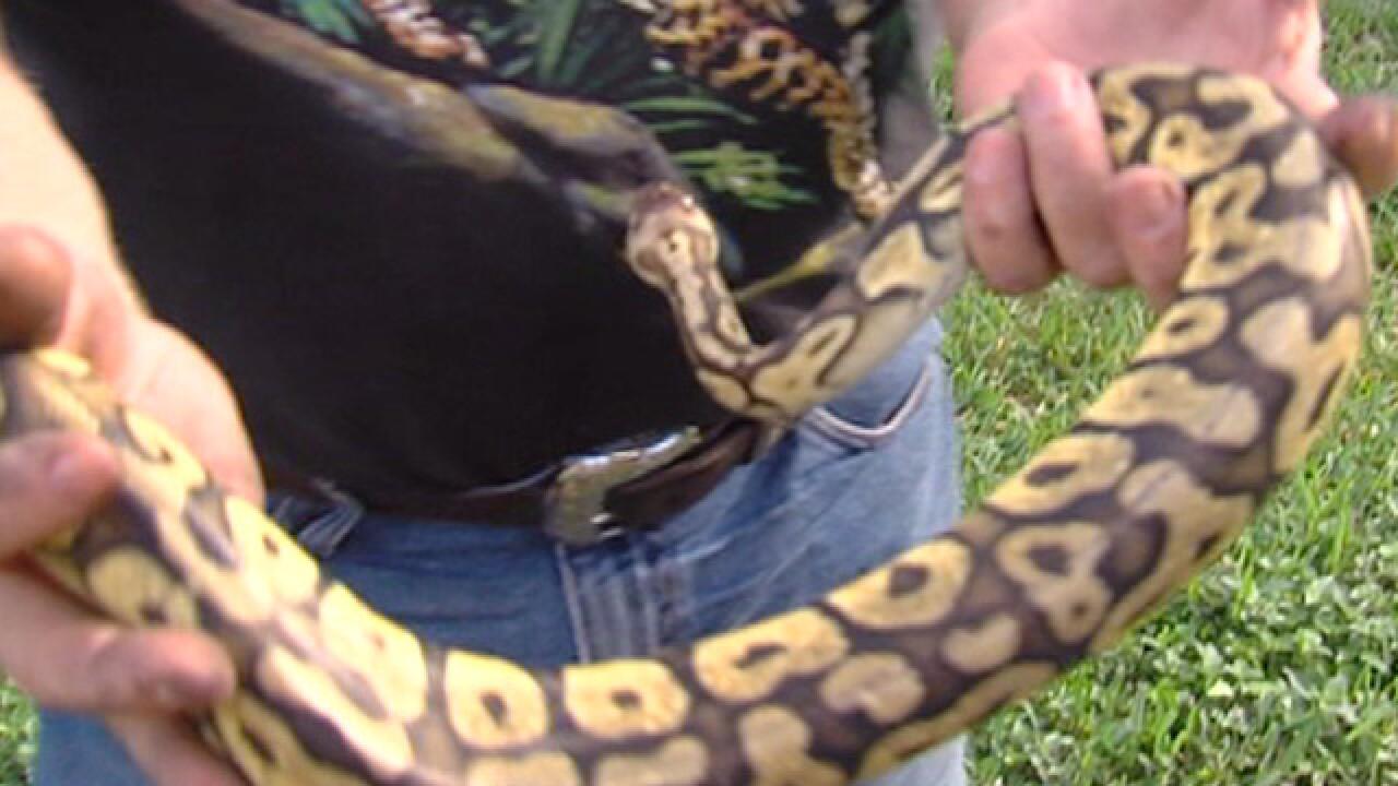Python found hiding under hood of SUV