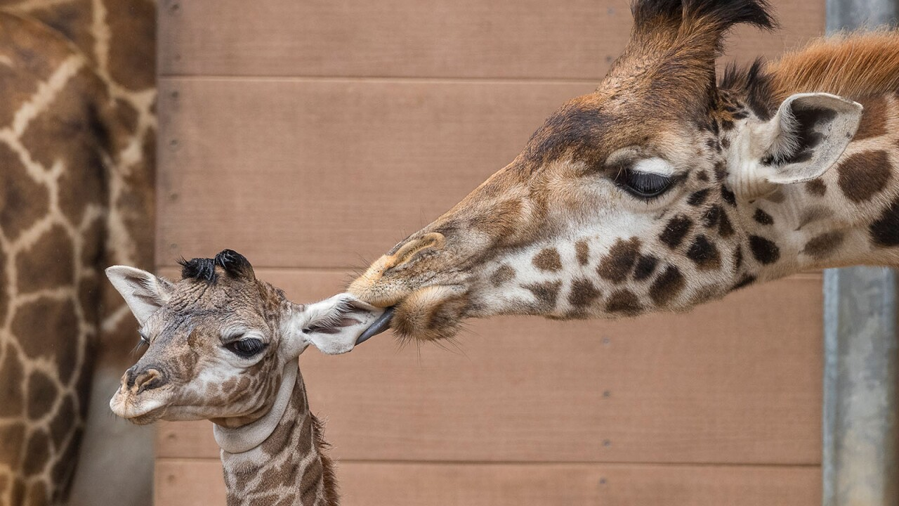 New Giraffe Calf Joins In The Herd At San Diego Zoo Exhibit