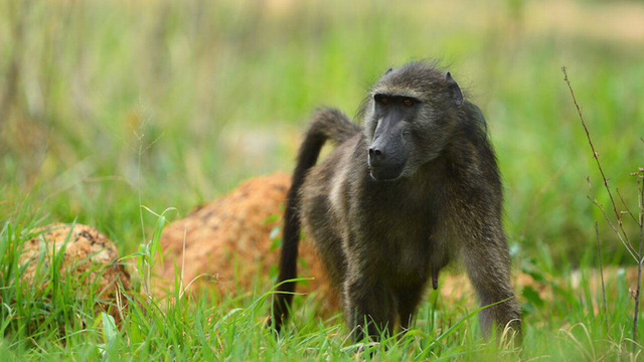 A baboon gets free at the San Antonio airport