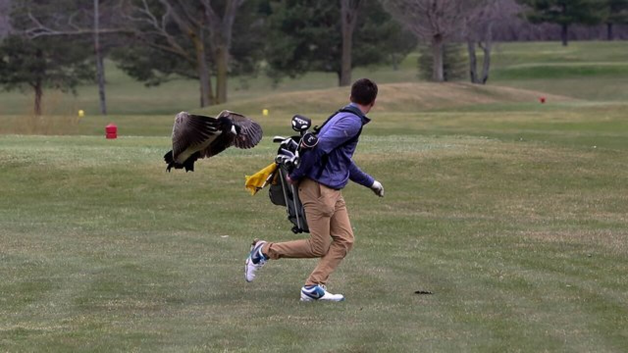 Goose levels high school golfer in Michigan