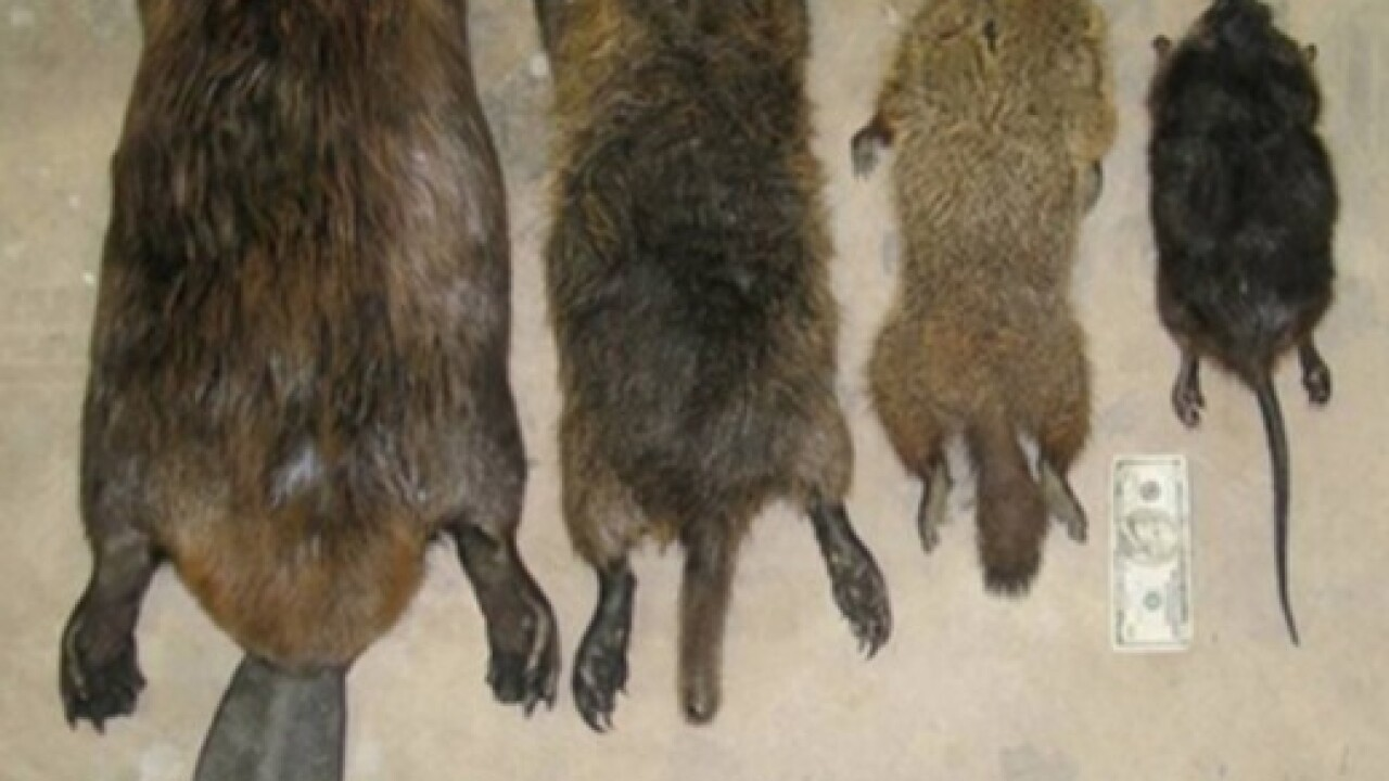 Warning issued in California for 20 pound rodent