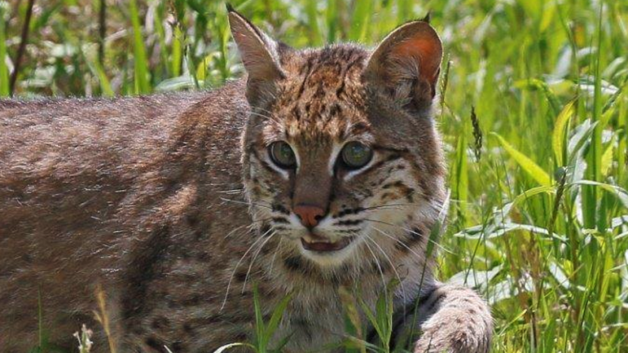 Lake County bobcat release