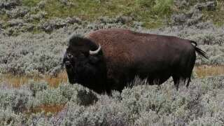 Woman gored by a bison in Yellowstone National Park