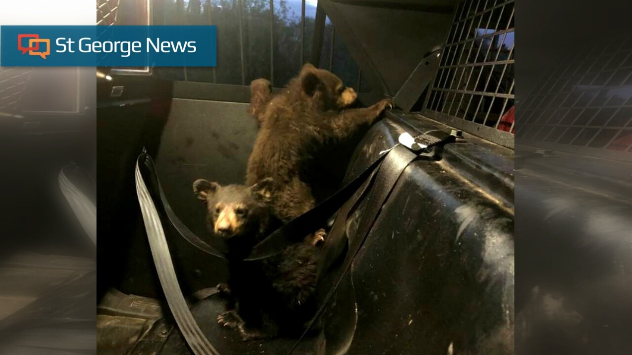 3 cubs rescued after mother bear killed by car in Arizona