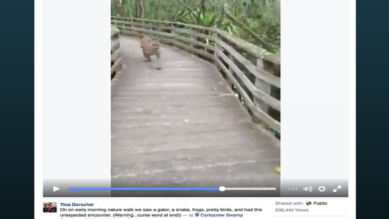 VIDEO: Unexpected Florida panther encounter