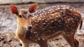 WCPO deer generic.jpg