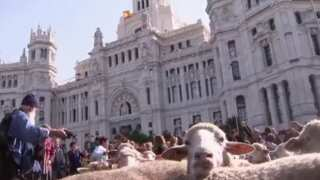 Video Extra: Sheep herded for Spanish festival