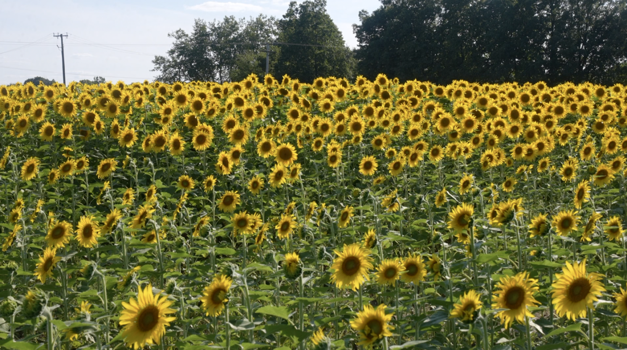 Sunflowers at Munsell Farms