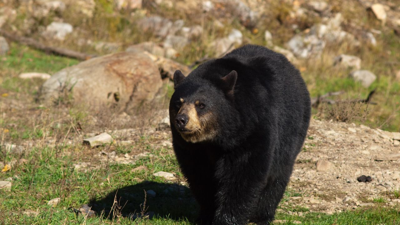 Black bear (MTN News file photo)
