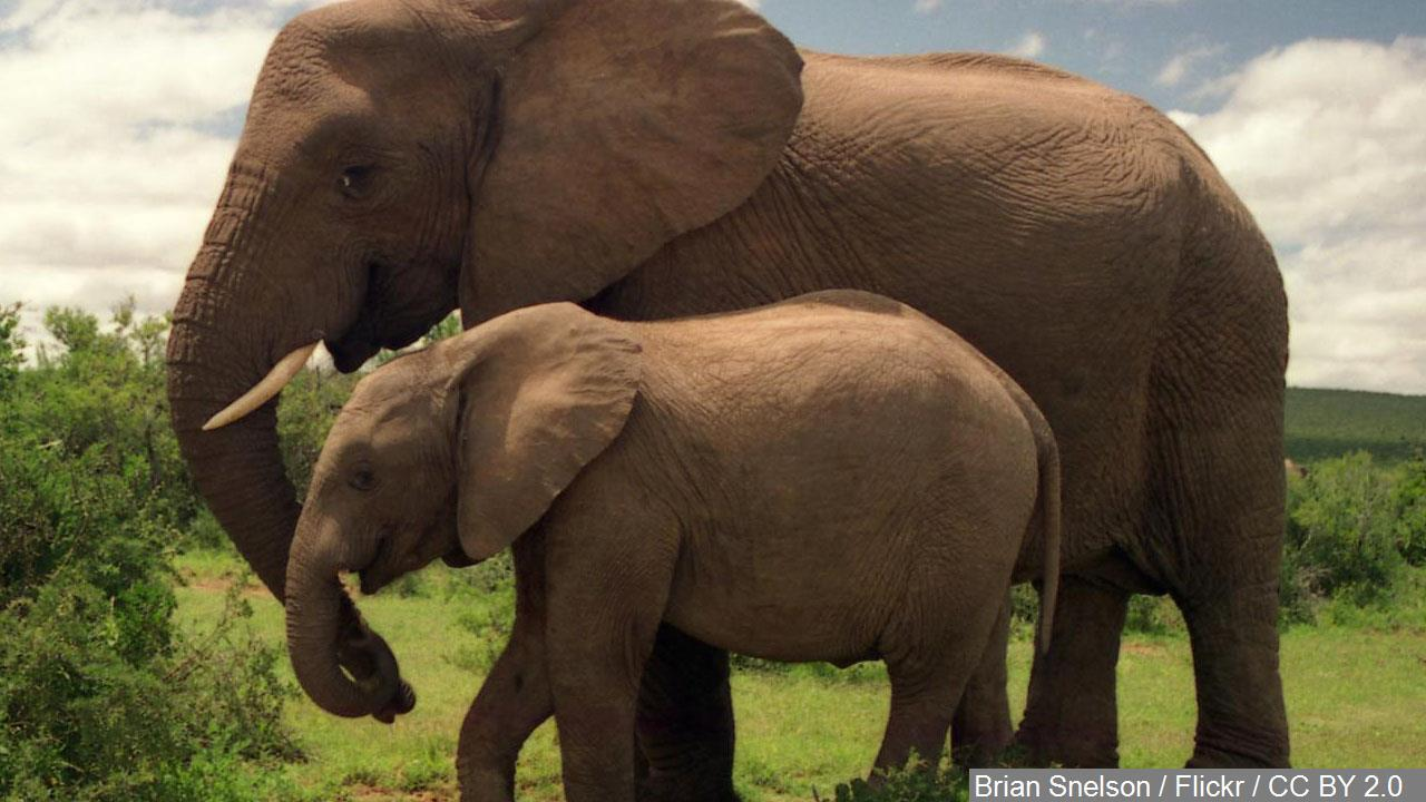 Elephant genes hold clues for fight against cancer, scientists say