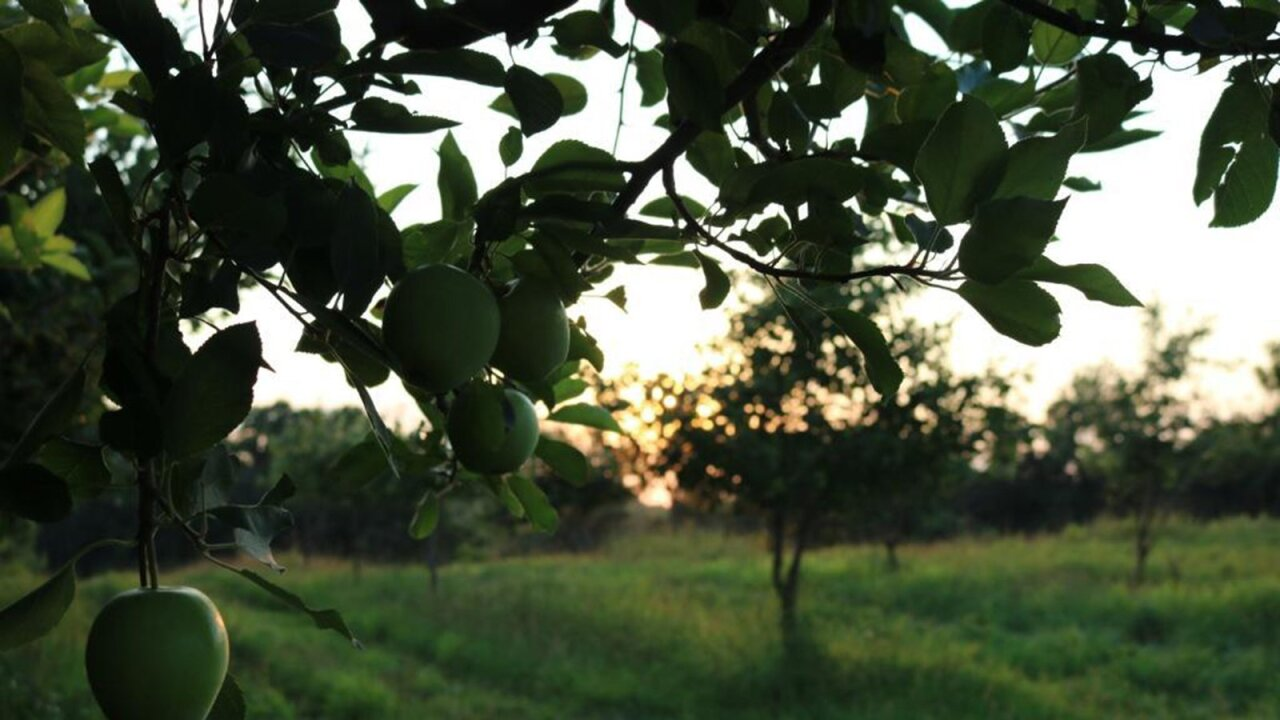 Thieves steal 50,000 apples from an Indiana orchard